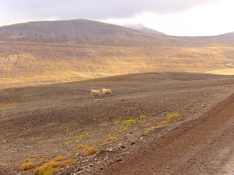 sheep sighted