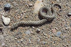 eastern diamondback rattlesnake(0.0), hognose snake(0.0), grass snake(0.0), garter snake(0.0), rattlesnake(0.0), anguidae(0.0), lacertidae(0.0), animal(1.0), serpent(1.0), snake(1.0), reptile(1.0), fauna(1.0), viper(1.0), sidewinder(1.0), scaled reptile(1.0), wildlife(1.0),