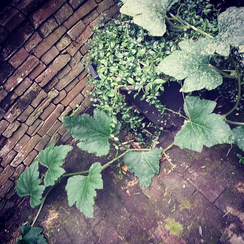 Pompoenen, een hele lange plant. Zonder pompoenen. #moestuinfail