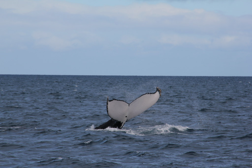 whales, whale watching, humpback whales, hervey bay, blue dolphin marine tours, platypus bay, fraser island