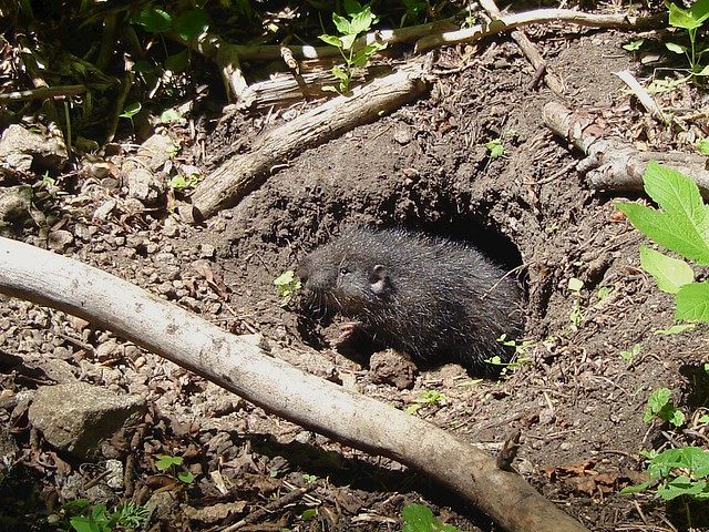 juvenile mountain beaver