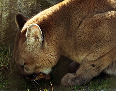 cougar while eating