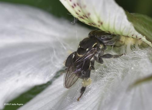 Apidae>> Apinae>> Meliponini>> Aparatrigona