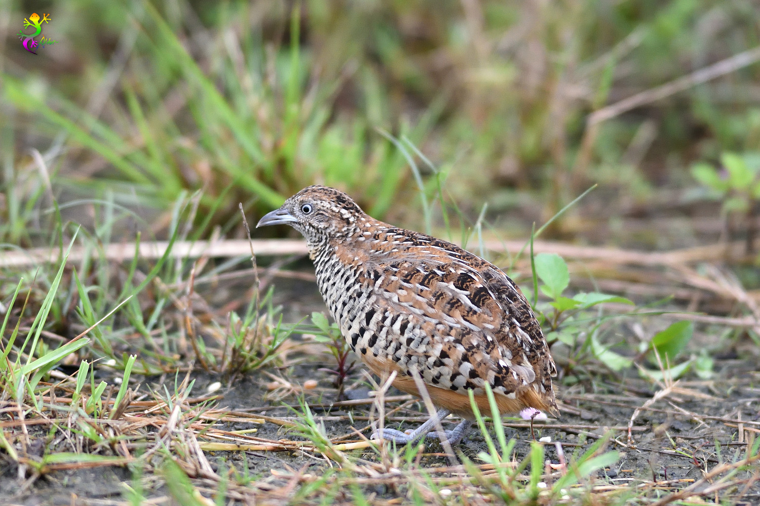 Barred_Buttonquail_9408