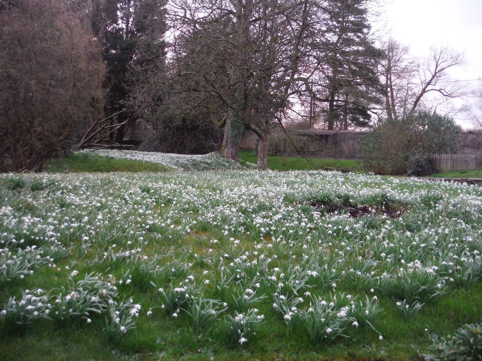 Snowdrops in Garden of Cole Manor Tea Rooms SWC Walk 284 Bruton Circular (via Hauser & Wirth Somerset) or from Castle Cary