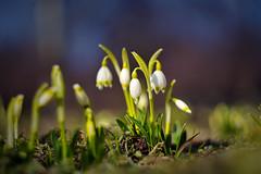 Galanthus (snowdrop) 作者 Yuri Macsimov