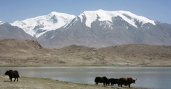 Yaks Karakul Lake Muztagh Ata Xinjiang Uyghur Autonomous Region of China