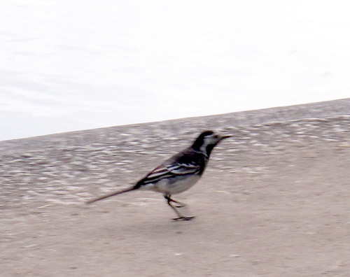 Pied Wagtail 0050