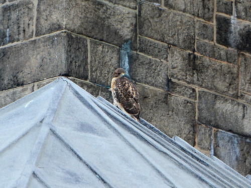 Cathedral Hawk Fledgling #2 (2154)