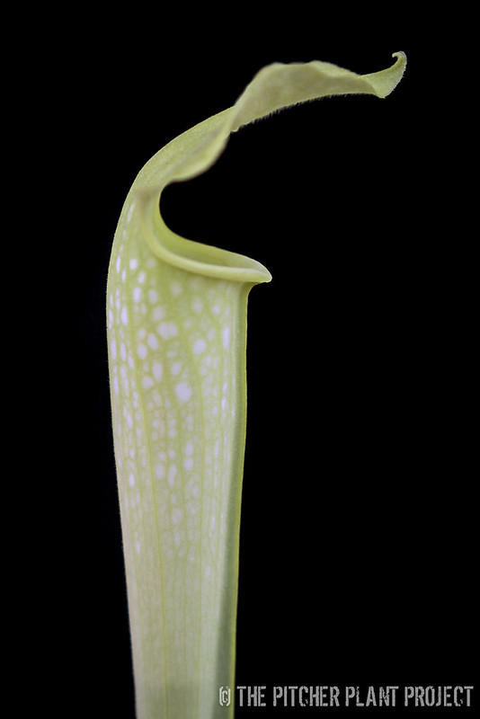 Sarracenia alata AF x Green Monster