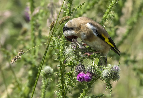 goldfinch on thistle 382  (47)