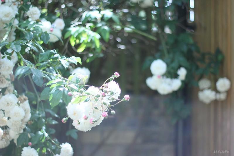 white pink wild roses
