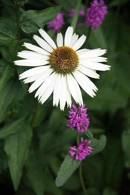 Highline_Shasta-daisy