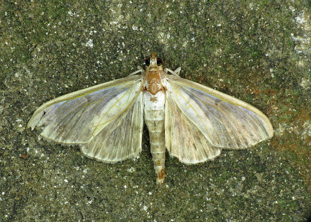 1405 Mother of Pearl - Pleuroptya ruralis