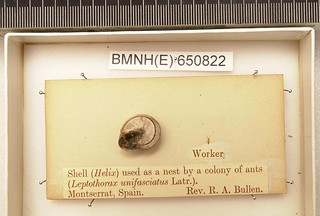 Temnothorax unifasciatus (Latreille, 1789)