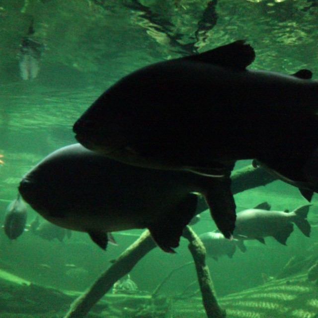 Perfil de dos peces nadando en pareja, sin filtros, tal como los capté en CosmoCaixa.