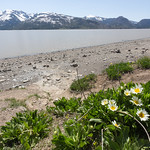 Wild flowers, Jackson Lake