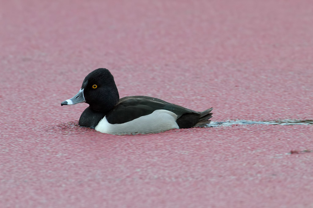 A male ring-necked duck swims through duckweed