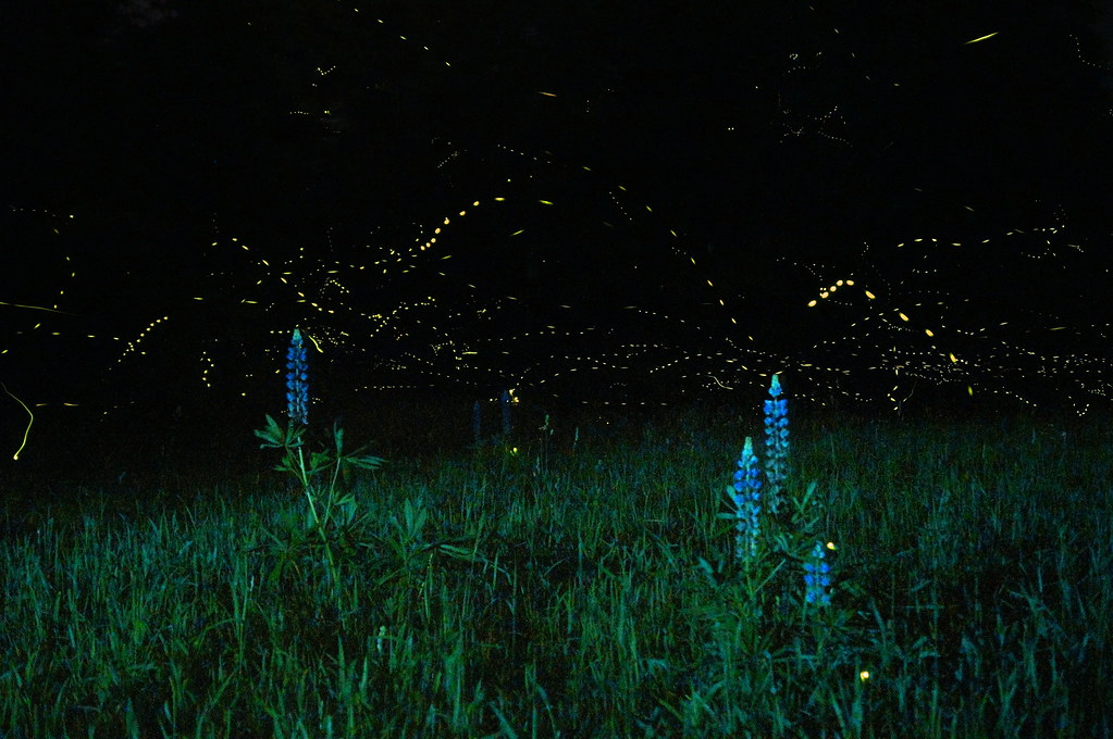 Lupines and Fireflies No. 4