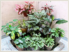 Mostly variegated foliage plants, incl. Ctenanthe burle-marxii 'Amagris' at our courtyard, June 19 2014