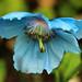 Blue flower from Scotland by Zé Eduardo...