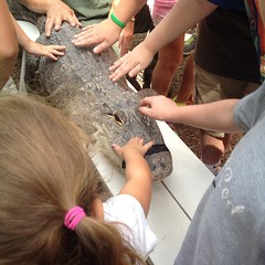 Ashlin pet a live #crocodile @ctbeardsleyzoo!  Teagan was back at the bleachers. #beardsleyzoo #reptileman was awesome