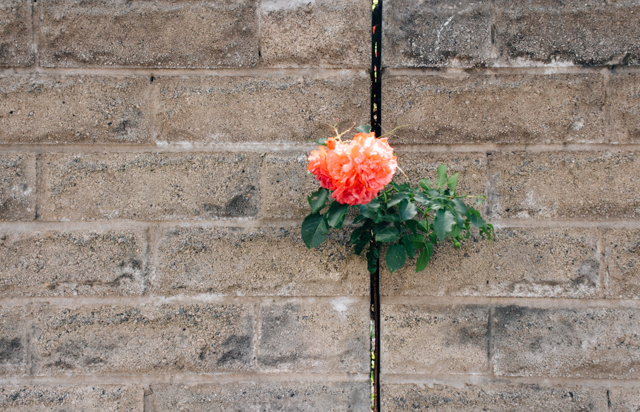 rose in wall crack