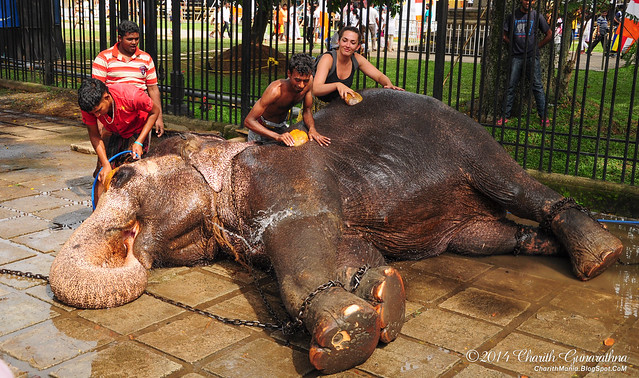 Elephants - Esala Perahera Kandy 2014