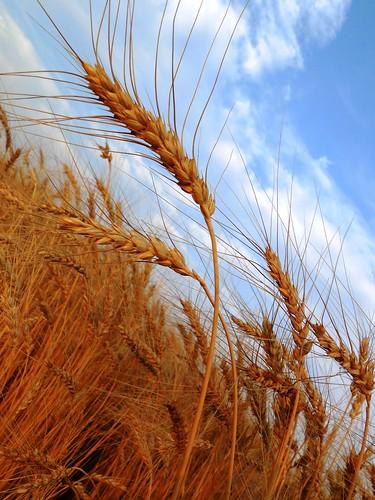 Bountiful wheat