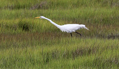 animal, prairie, fauna, meadow, great egret, heron, grassland, beak, crane-like bird, crane, bird, wildlife,