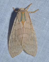 # 8203 – Halysidota tessellaris – Banded Tussock Moth (probable)