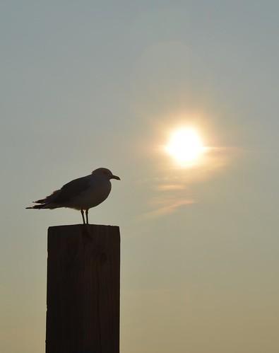 sunset nature birds sunrise nikon wildlife seagull beautifulearth scenicmichigan glap d5100