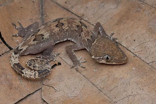Cyrtodactylus elok IMG_1295 copy
