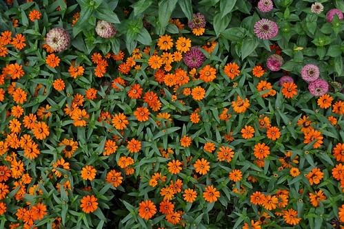 Zinnia 'Profusion Orange'