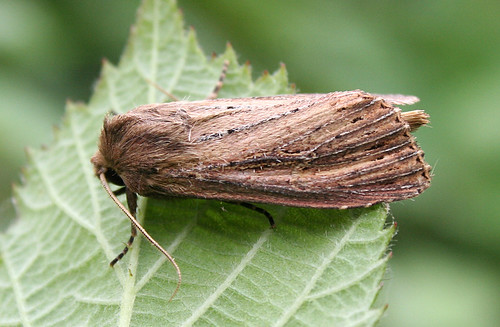 Bulrush Wainscot Nonagria typhae Tophill Low NR, East Yorkshire August 2014
