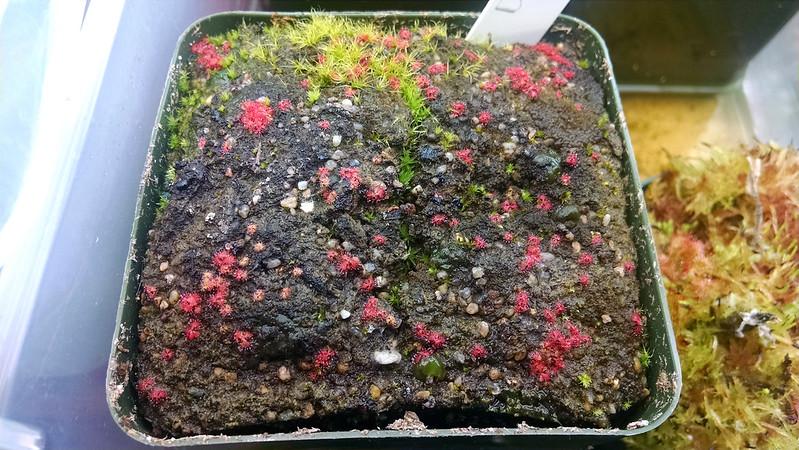 Drosera natalensis seedlings.
