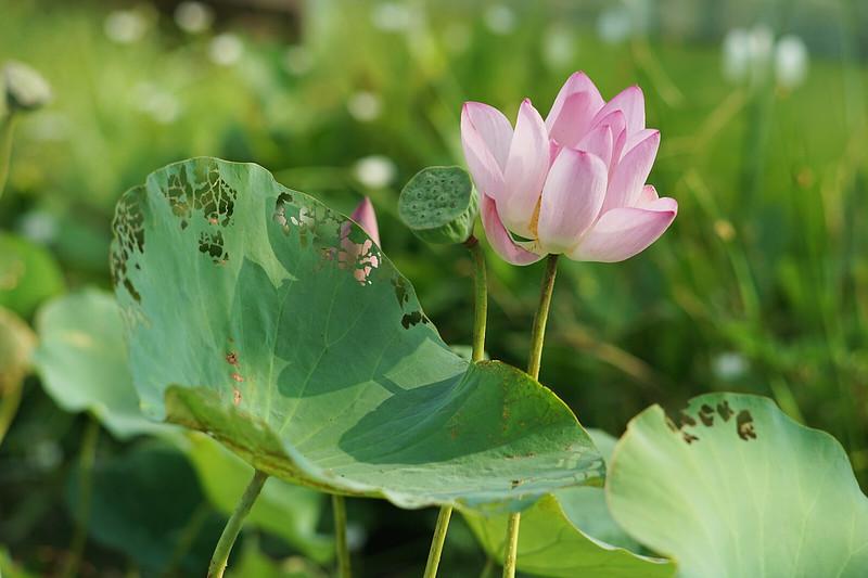 遠觀的蓮(荷)花