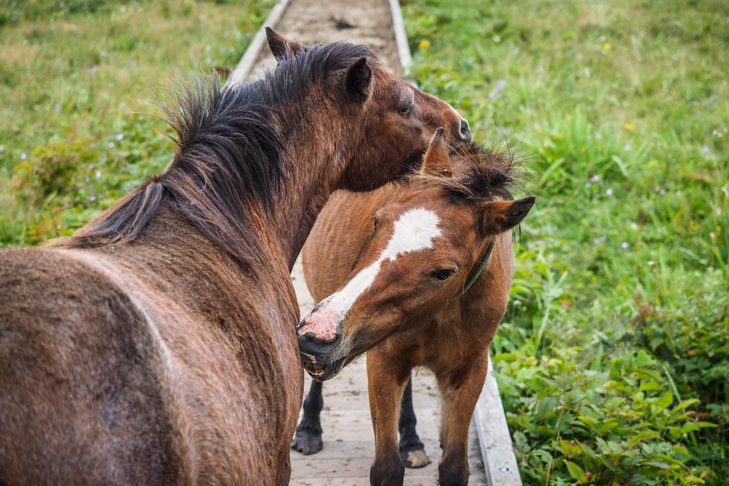 Horses near Nosappu Cape, Hokkaido, Japan