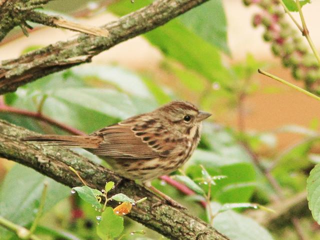 Song Sparrow 2-20140918