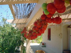 cherry tomatoes drying in the sun