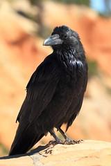 Bryce Canyon (Giant) Crow