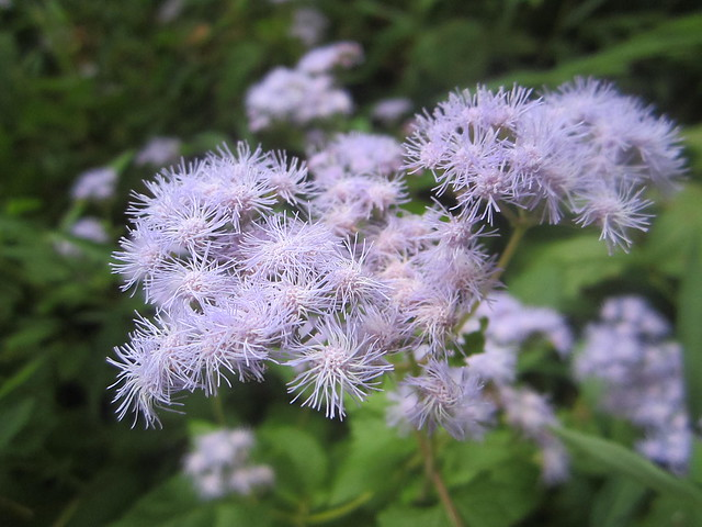 Purple Aster sp.