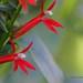 Cardinal Flower by jannagal (Jan Nagalski)