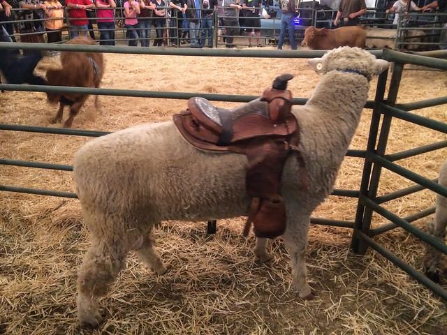 Sheep with Saddle