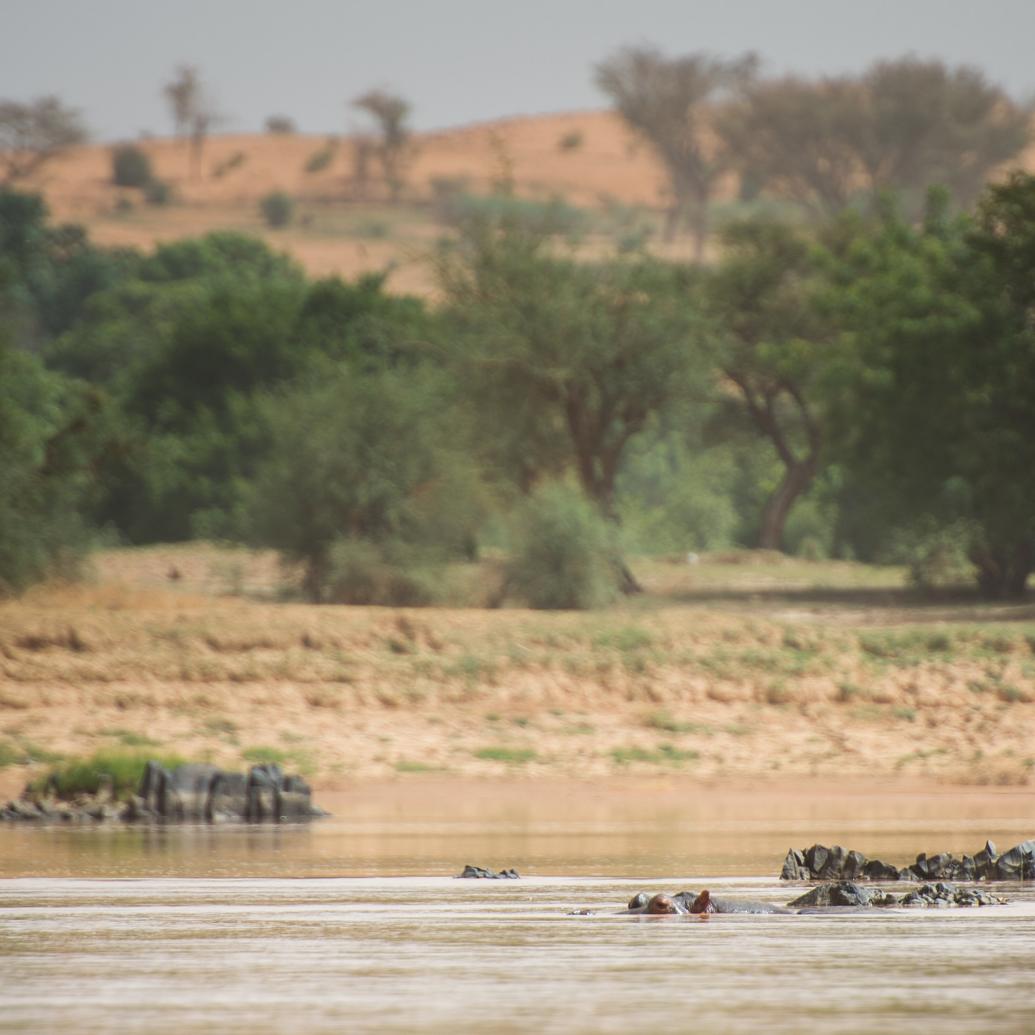 Hippo in the Niger River
