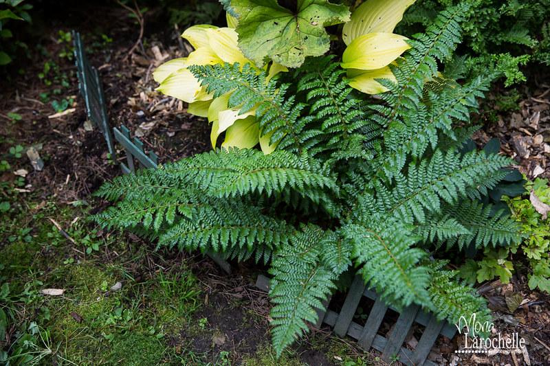 Fougère Polystichum braunii 15206107282_6e0cb93cf0_c