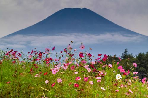 Cosmos bloom at the foot of Fuji