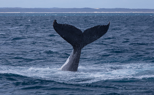 Humpback whale tail #1