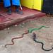 Snakes - Sonepur Mela, India by Maciej Dakowicz