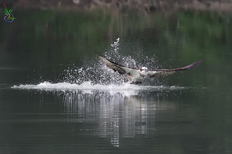 Osprey_2382
